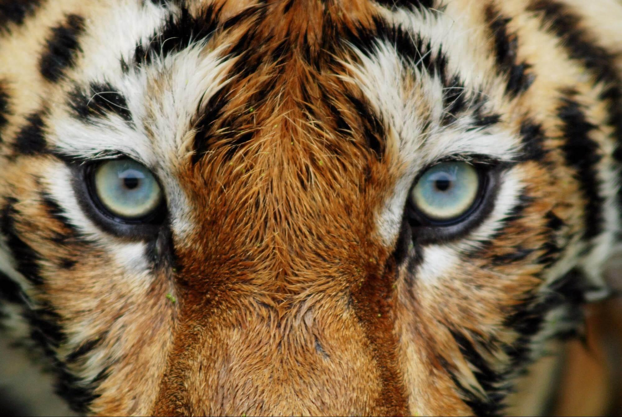 A close-up of a tiger